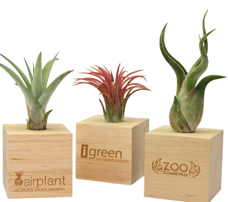 Air Plants - Piantine Aeree