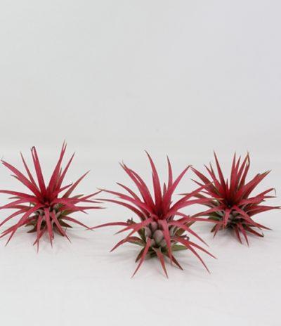 Airplant Piante Aeree in Cubi di Legno Specie Tillandsia Ionantha Red Immagine 1